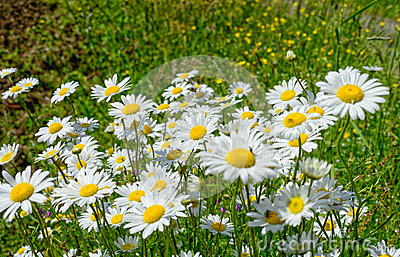Field with many flowers daisies