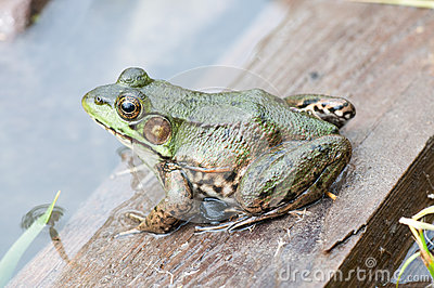 Bullfrog In A Pond In Summer