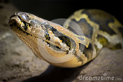 Indian rock python (Python molurus)