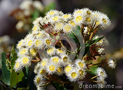 Australian gumtree flowers (Angophora hispida)