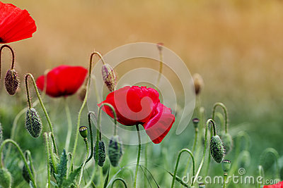 Close up poppy head. red poppy. Red poppy flowers field, close u
