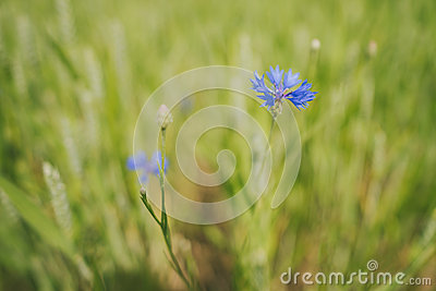 Cose up of blue cornflowers