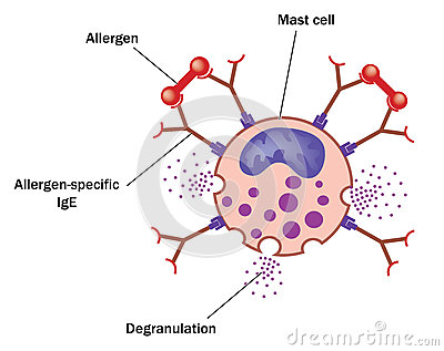 Mast cell and allergen
