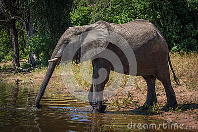 Elephant on riverbank stretching trunk to drink