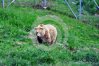 BEAR SANCTUARY near Prishtina for all of Kosovo's privately kept brown bears.