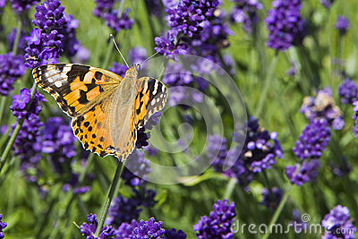 Variegated bright butterfly sitting on lavender