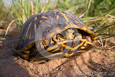 Ornate Box Turtle Inside His Shell