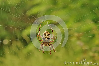 Insect. Cross spider on the web