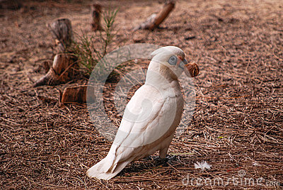Little corella with gumnut