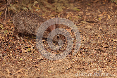 Juvenile rabbit, Sylvilagus bachmani, wild brush rabbit