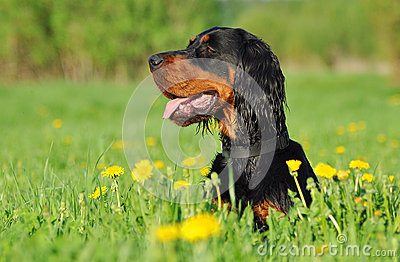 Gordon Setter laying down in a green grass