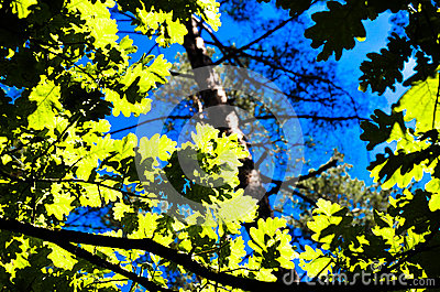 The green trees top in forest, blue sky and sun beams shining through leaves. Bottom view.