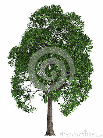 Green summer tree isolated on white background. render high quality design element maple poplar