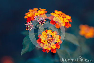 Beautiful fairy dreamy magic red yellow orange flower lantana camara on green blue blurry background