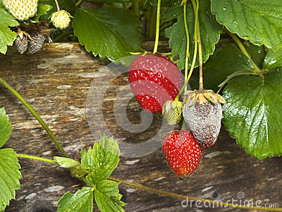 Botrytis Fruit Rot or Gray Mold of strawberries