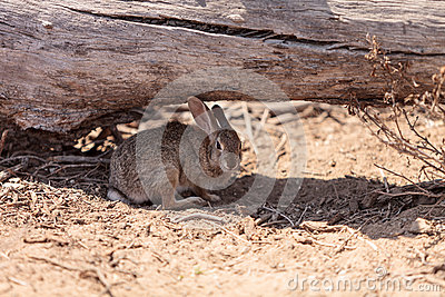 Juvenile rabbit, Sylvilagus bachmani, wild brush rabbit rests under a log in Irvine