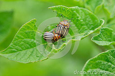 Colorado beetle eats a potato leaves young. Pests destroy a crop in the field. Parasites in wildlife and agriculture