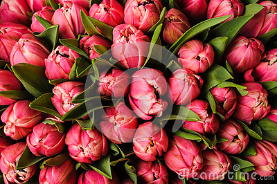 Fresh bright pink tulips with green leaves- nature spring background. flower texture