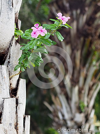 Rose periwinkle, Catharanthus roseus, decorative herbal plant with colourful pink flowers