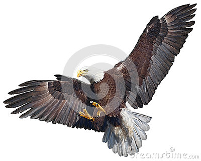 Bald eagle swoop vector.
