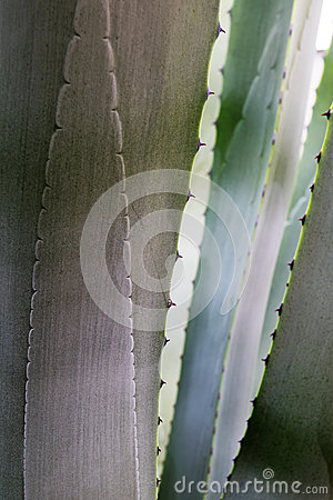 Abstract nature background, detail of a blue gray agave looking