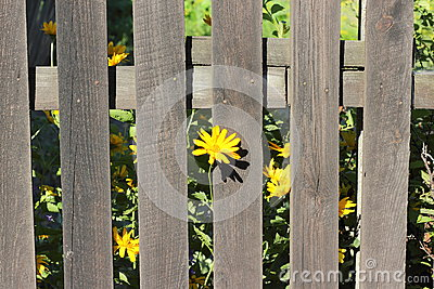 Wooden fence with yellow flowers