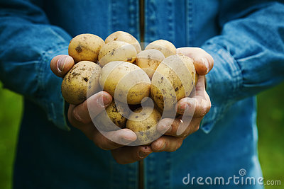 Farmer holding in hands the harvest of potatoes in the garden. Organic vegetables. Farming.
