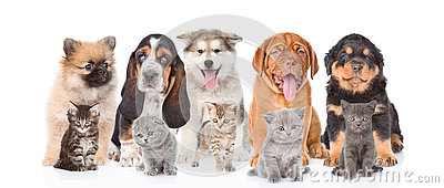 Group of purebred puppies and kittens.  on white background