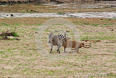 Lion catching a zebra