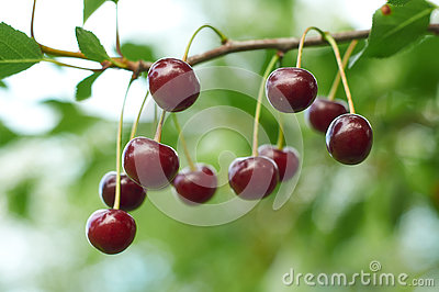 Branch of cherry with red berries