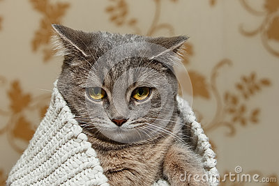 The Scotch Grey Cute Cat is Sitting in the Knitted White Sweater.Beautiful funny Look.Animal Fauna,Interesting Pet.