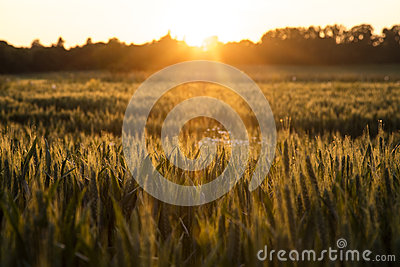 Wheat Farm Field at Golden Sunset or Sunrise