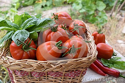 Basket of tomatoes in a vegetable garden