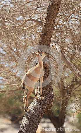A Nubian Ibex on a Tree in Ein Gedi Oasis