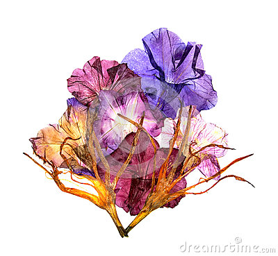 Dried lily petals. Petunia flower
