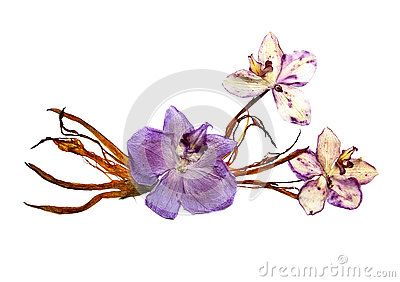Bizarre curved extruded dried lily petals. Pressed pink orchid f