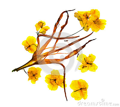 Bizarre curved extruded dried lily petals. Flower yellow celandi