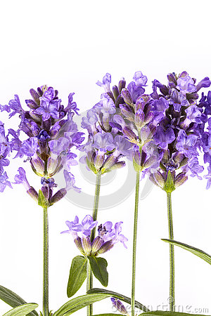 Violet lavendula flowers on white background, close up