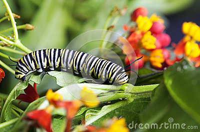 Monarch Caterpillar Feeding Milkweed