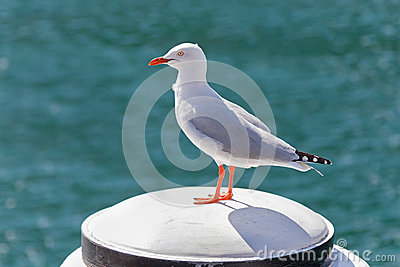 Silver Gull seabird standing on white wooden pole at Sydney Harb