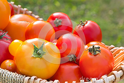 Various fresh picked organic tomatoes in a basket cose