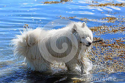 Samoyed dog playing in the water
