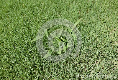 Crabgrass weed in a lawn