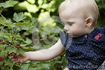 Picking redcurrant berries.