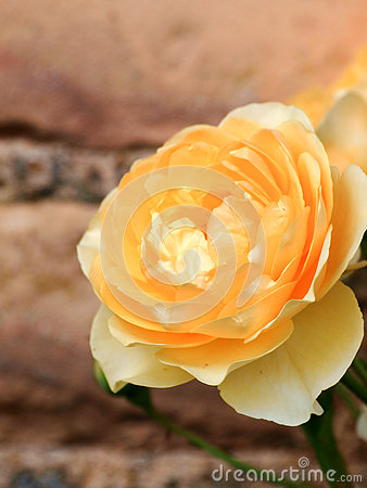 Yellow rose on a brick background