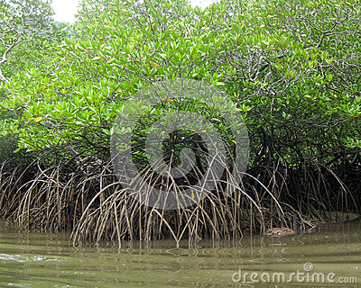 Thicket of green mangrove trees