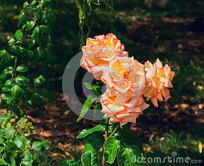yellow cream pink roses
