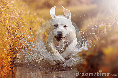 Young labrador dog puppy running through river in sun