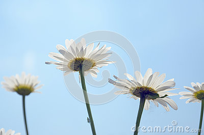 White Daisy flowers on against blue sky closeup