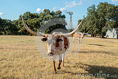 Close up of Texas Longhorn and the Windmill
